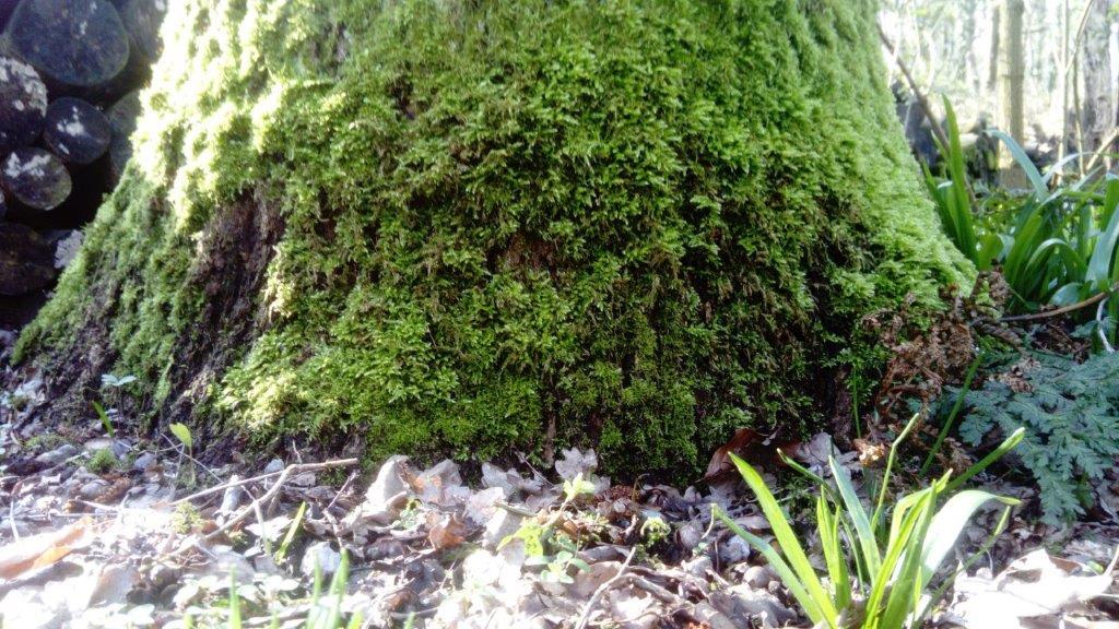 boomstam met mos